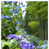 紫陽花2*スマホチャレンジ#009の画像