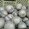 「ただいま出荷中」★ 馬鈴薯の画像
