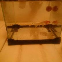 最近飼った新しい金魚…