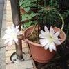 サボテンの花パートⅡ&スイカのハンモック!の画像