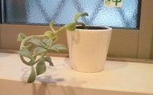 成長した多肉植物