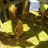 茗荷谷のミョウガ収穫!の画像