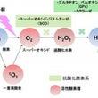 4種類の活性酸素
