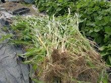 150720たまねぎ苗床土作りと太陽熱消毒06