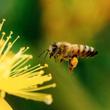 ミツバチの大量死対策…