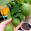 今朝のパオパオ菜園日記の画像