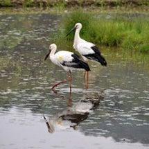 加陽湿地とコウノトリ