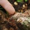 ゴマダラカミキリムシの幼虫(テッポウムシ)の見つけ方講習会の画像