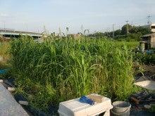 150727たまねぎ苗床土作りと太陽熱消毒処理02