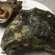 岩牡蠣とサザエ