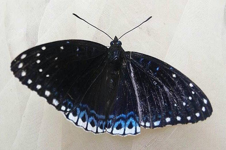 日本蝶類学会
