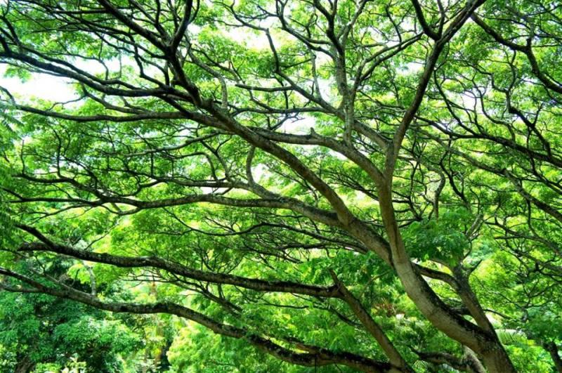 kauai hawaii マザーツリー