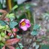 秋明菊の画像