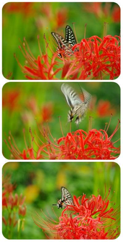 曼珠沙華と蝶