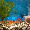 金魚、カブトムシ、クワガタの画像