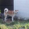 【拡散希望】新たに遺棄された秋田犬の画像
