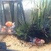 店の「目の保養」水槽の金魚3匹新加入!の画像