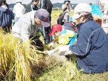 20151003稲刈りツアー22稲刈り