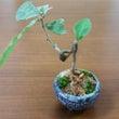 ウバメガシ盆栽と盆栽…