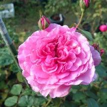 今朝のバラ...つき…