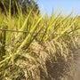 合鴨米 収穫