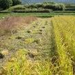 2015年稲刈り