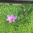 サフランの花咲き始めましたの記事より