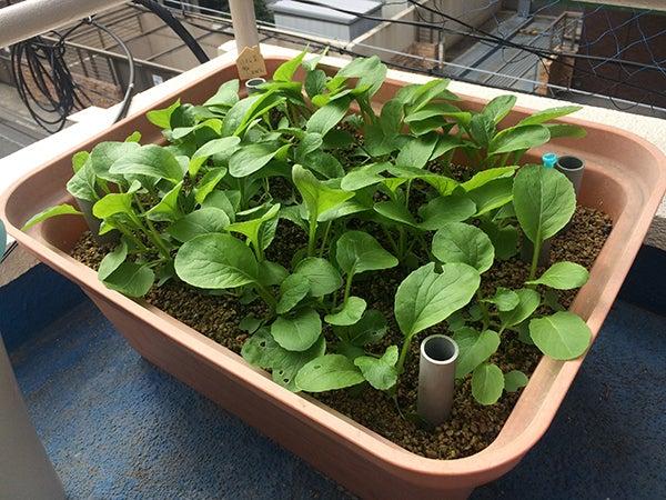 小松菜の水耕栽培(養液栽培プランター)