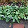 家庭菜園・最後の収穫…。の画像