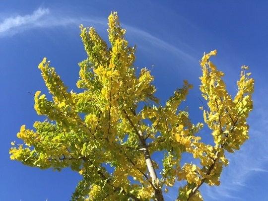 堀川通 イチョウが黄色くなっています。の記事より
