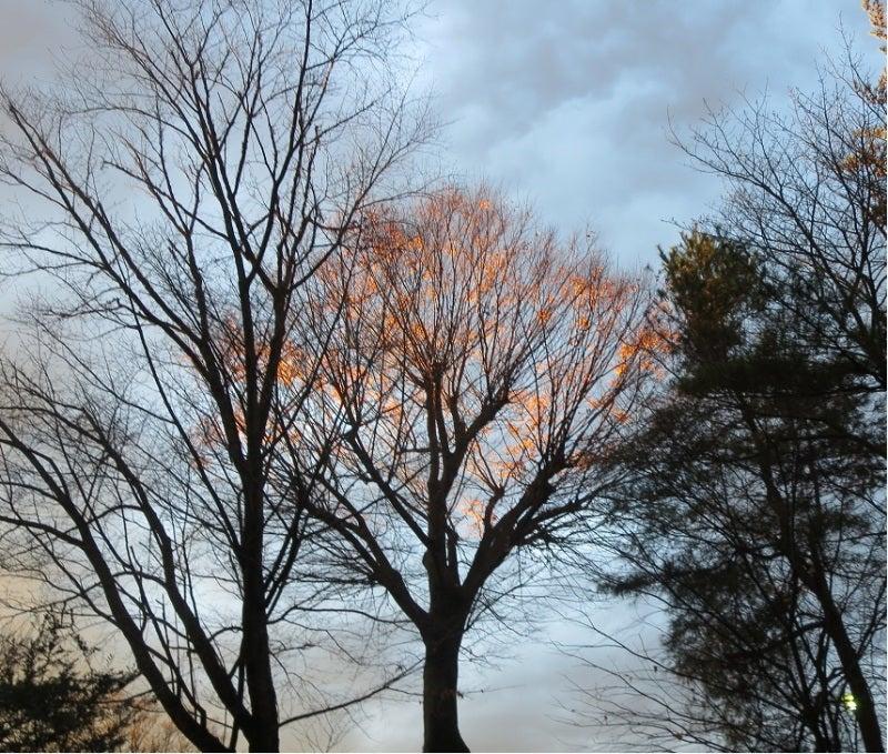 夕日映える欅の樹
