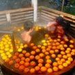 城崎温泉 柚子湯(冬…