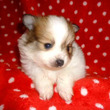 ポメラニアン 子犬|…