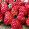 苺の手入れの画像