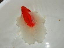 土佐錦愛好家物二歳 品評会用 ホ個体
