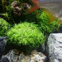 水草育ててみましたパート3~面倒だけどきれいなあいつ・リシアの記事に添付されている画像