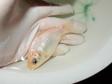 黄白短尾和金形態