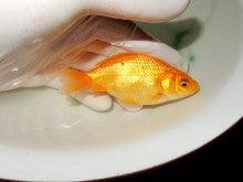 品種不明 黄色 孔雀尾モドキ
