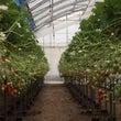 イチゴ農園にカード並…