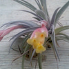 エアープランツの花の画像