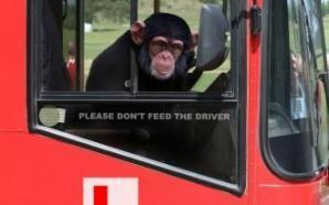チンパンジー 事故
