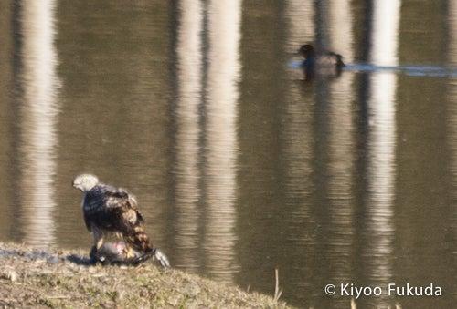 葛西臨海公園・オオタカ・狩り