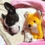 【玉露嬢】ラッセル犬…