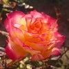花あそび 0119の画像
