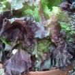 大寒波の後遺症 水菜…