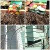 チューリップに芽が&バラのなんちゃって誘引の画像