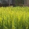 ビルの中に稲が!の画像