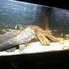 日本淡水魚タナゴ水槽の画像