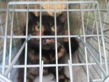 K公園の猫達を救いたい!(29)サビ猫捕獲