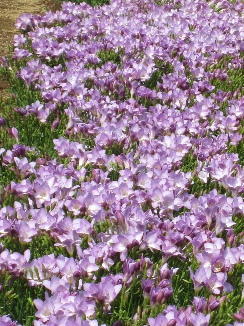 フリージア薄紫